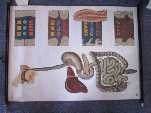 Uralte Schulwandkarte Rollbild Verdauung